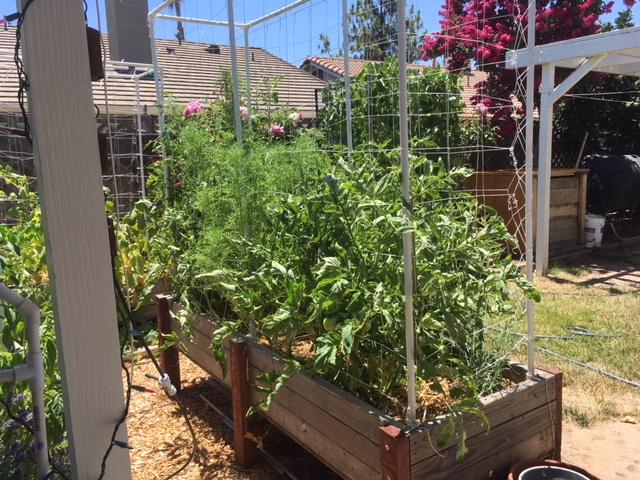 Sanderson's Urban SFG in Fresno, California - Page 4 Tomato11