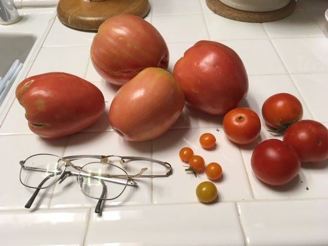 Mystery seed Tomato25
