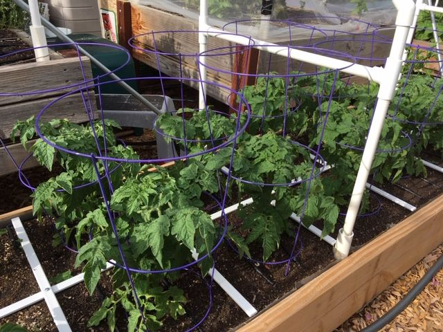 Staking Eggplants and Peppers Tomato31