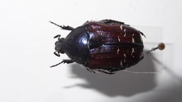 Variabilité chez Cetonia carthami carthami Dsc03116