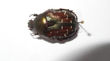 Variabilité chez Cetonia carthami carthami Dsc03118