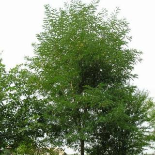 Thème 3 : Plantes pour baguette magique : Chapitre 15 : Acacia Acacia12