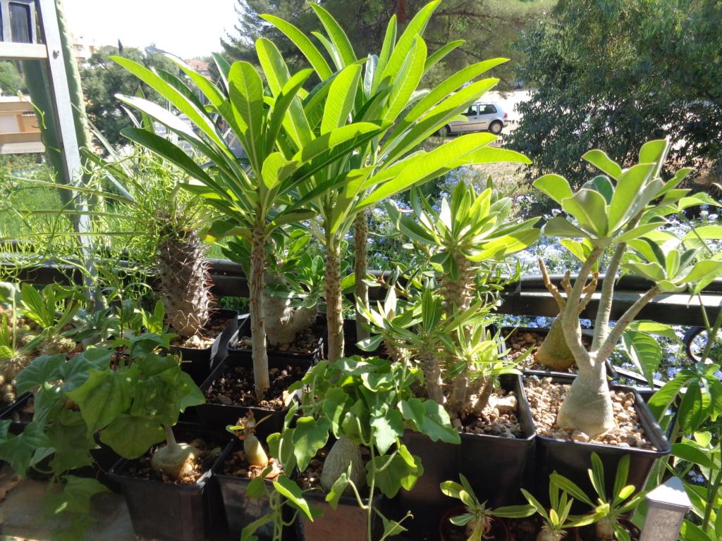 Mes semis : Gerrardanthus macrorhizus, Kedrostis africana, Ibervillea tenuisecta... - Page 2 Dsc04112