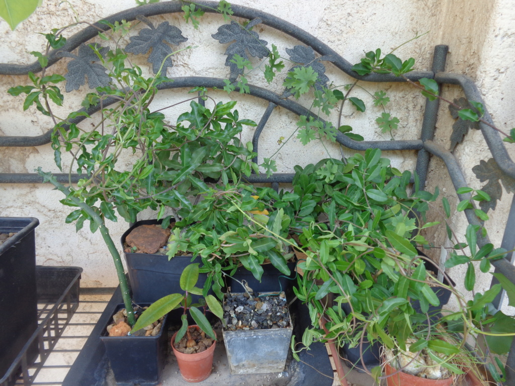 Mes semis : Gerrardanthus macrorhizus, Kedrostis africana, Ibervillea tenuisecta... - Page 2 Dsc04113