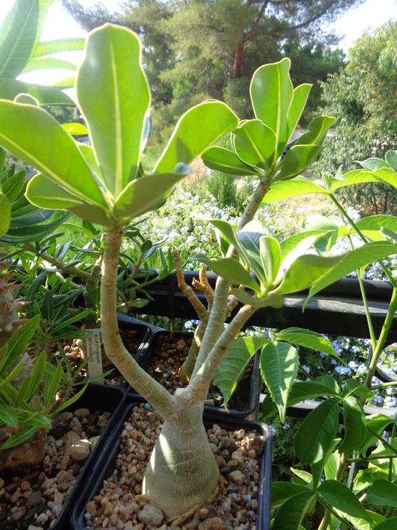 Mes semis : Gerrardanthus macrorhizus, Kedrostis africana, Ibervillea tenuisecta... - Page 2 Dsc04119