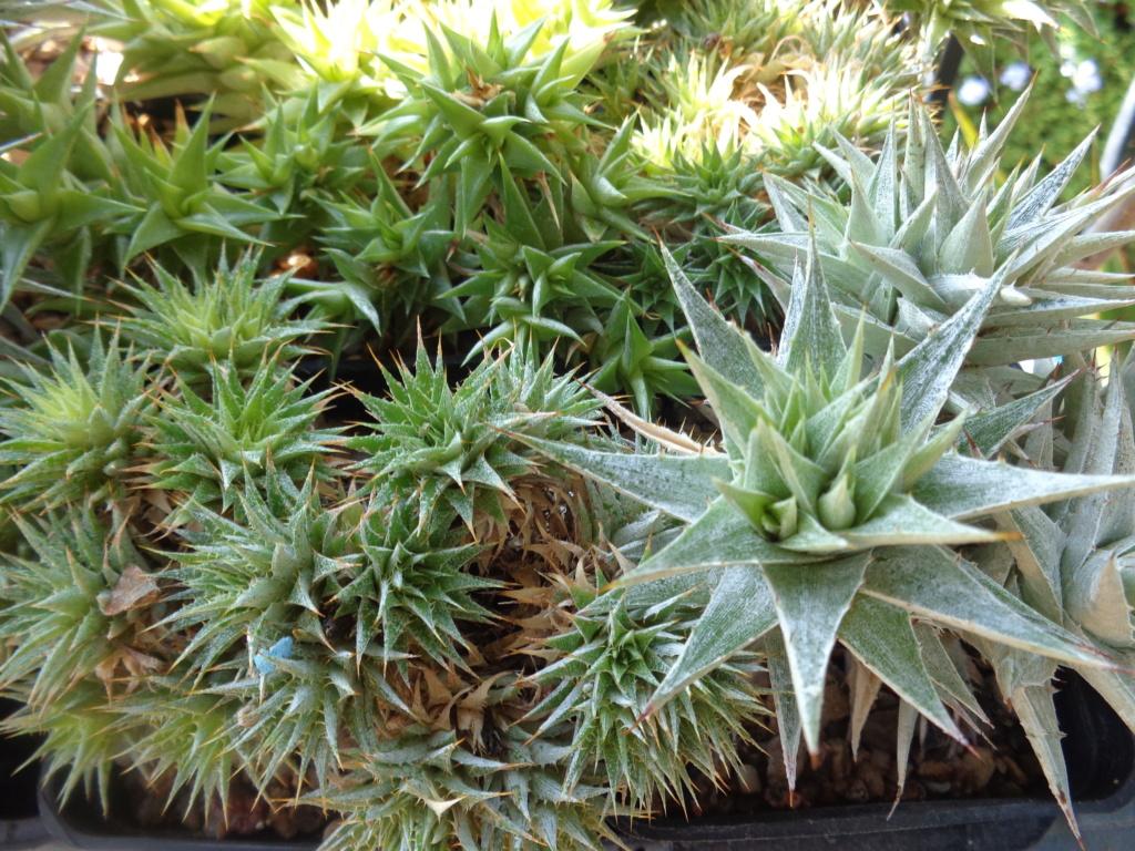 Mes semis : Gerrardanthus macrorhizus, Kedrostis africana, Ibervillea tenuisecta... - Page 2 Dsc04124