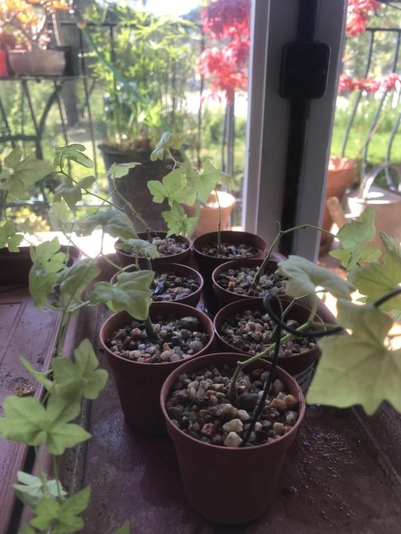Mes semis : Gerrardanthus macrorhizus, Kedrostis africana, Ibervillea tenuisecta... - Page 6 Img_2713