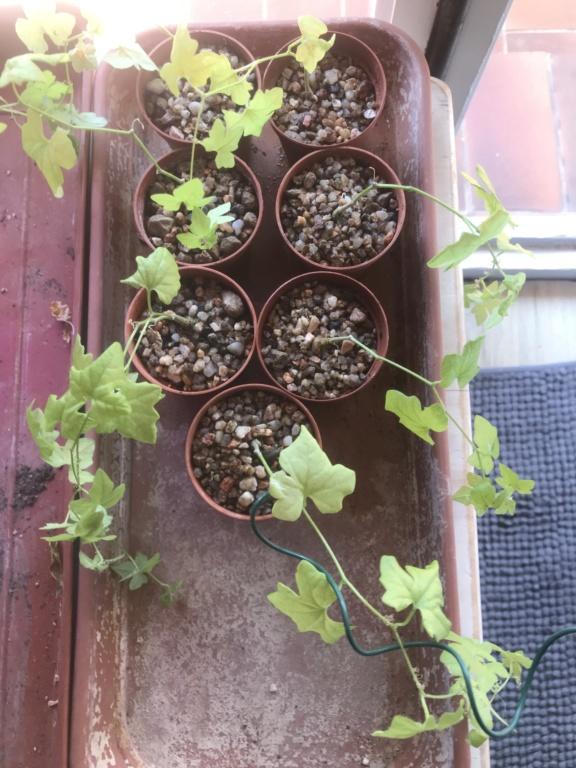 Mes semis : Gerrardanthus macrorhizus, Kedrostis africana, Ibervillea tenuisecta... - Page 6 Img_2714