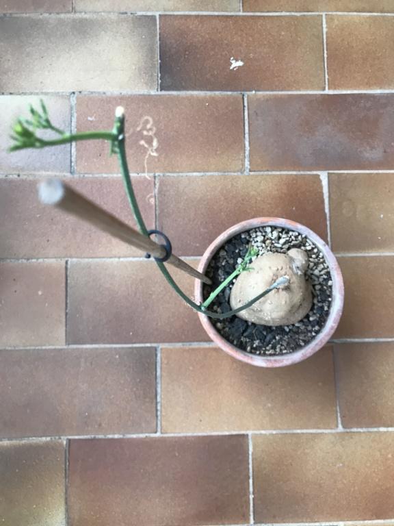 Mes semis : Gerrardanthus macrorhizus, Kedrostis africana, Ibervillea tenuisecta... - Page 6 Img_2810