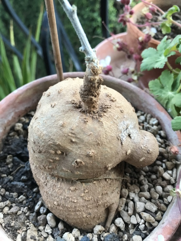 Mes semis : Gerrardanthus macrorhizus, Kedrostis africana, Ibervillea tenuisecta... - Page 6 Img_2811