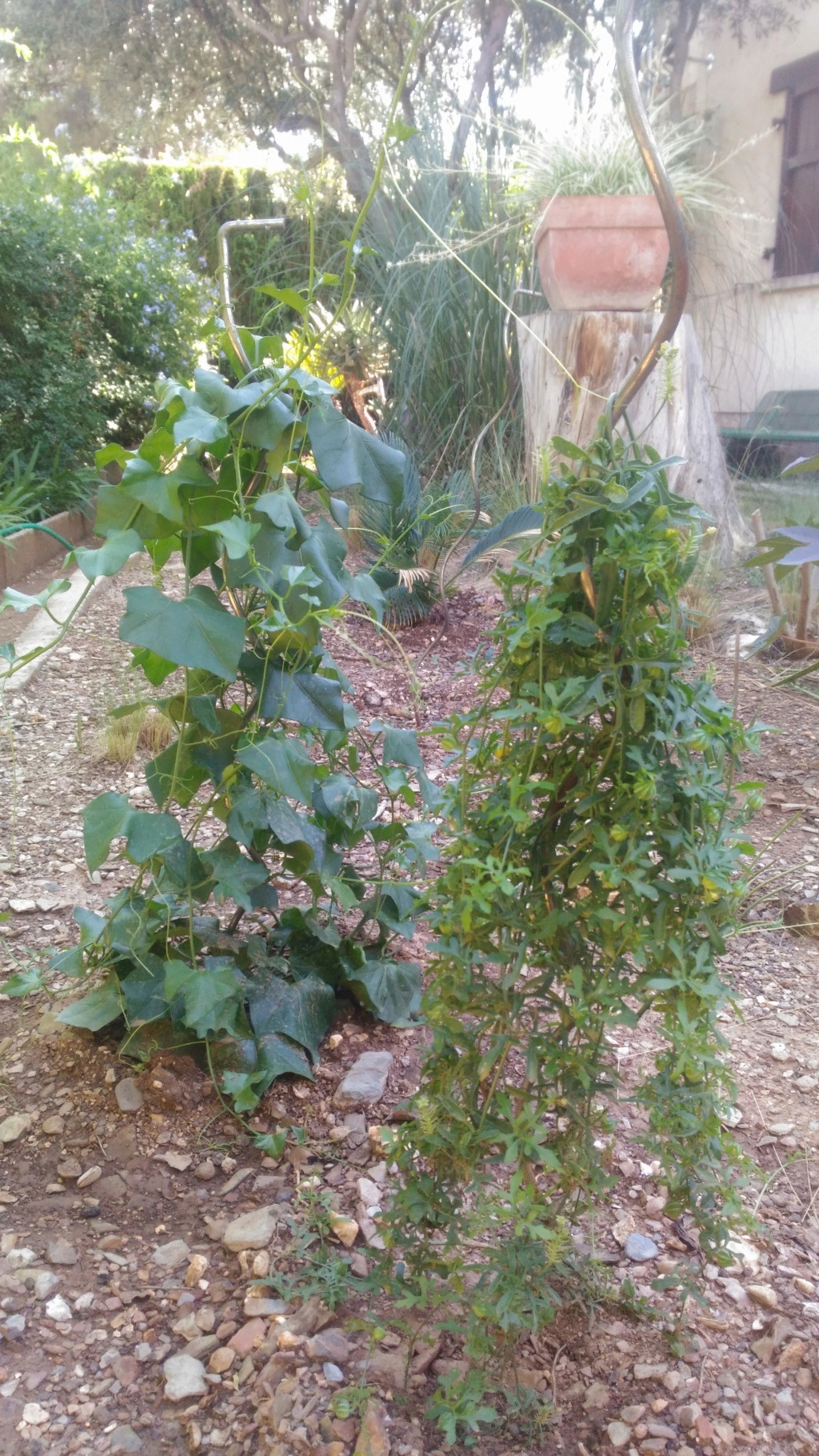Mes semis : Gerrardanthus macrorhizus, Kedrostis africana, Ibervillea tenuisecta... - Page 2 P_201815