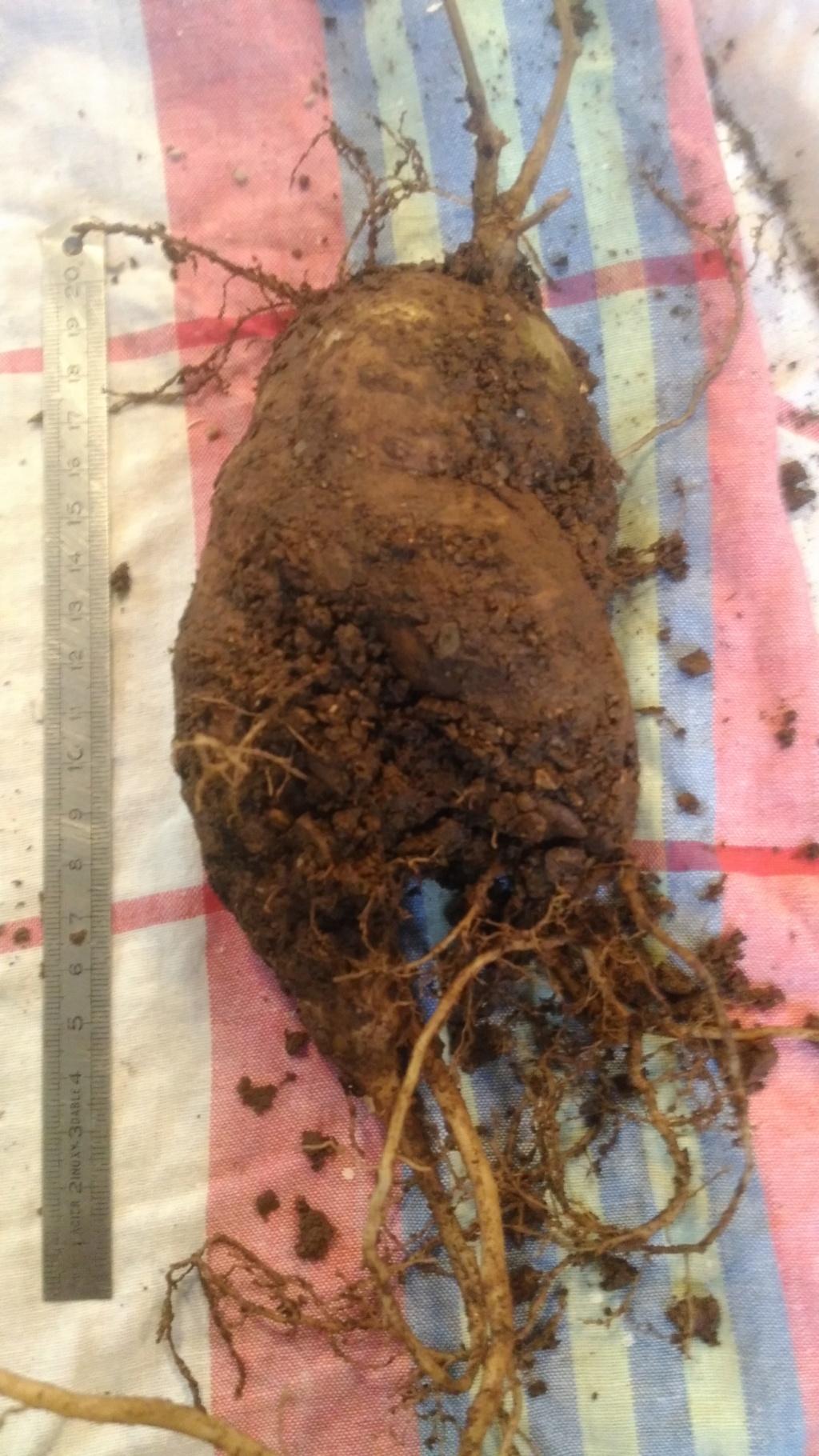 Mes semis : Gerrardanthus macrorhizus, Kedrostis africana, Ibervillea tenuisecta... - Page 2 P_201816