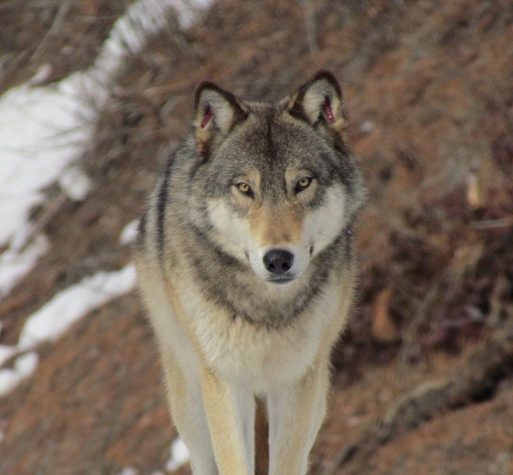 Meileen - Shamps - Página 14 Lobo10