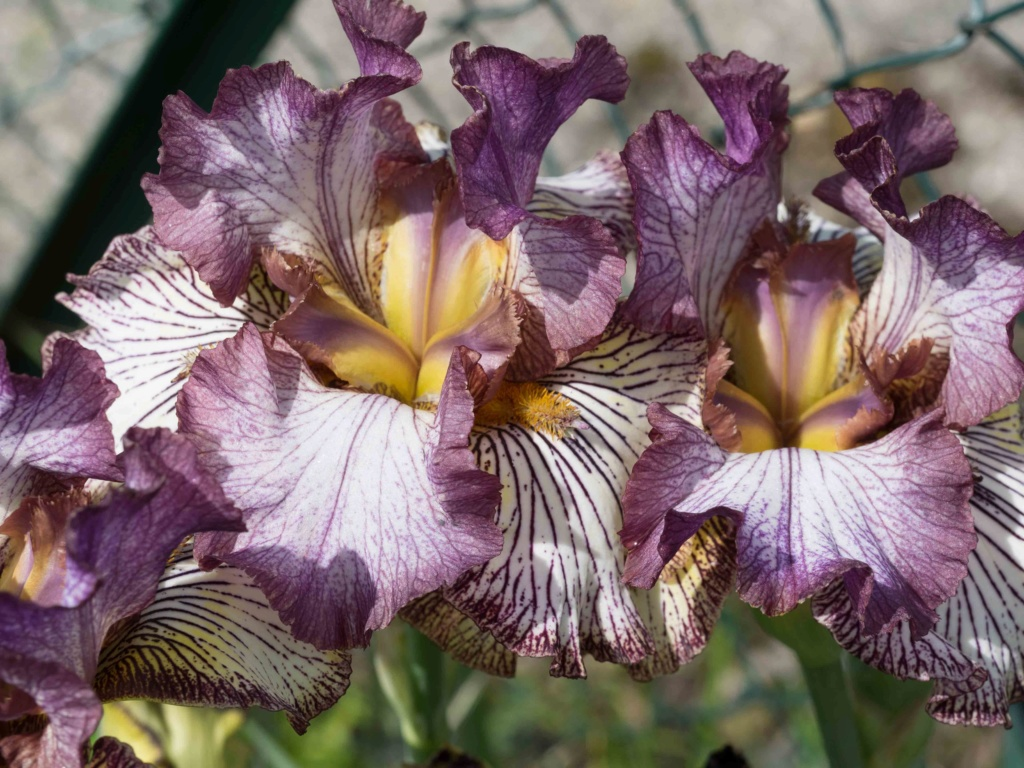 Iris 'Apollo One' - Sutton 1995 P5100210