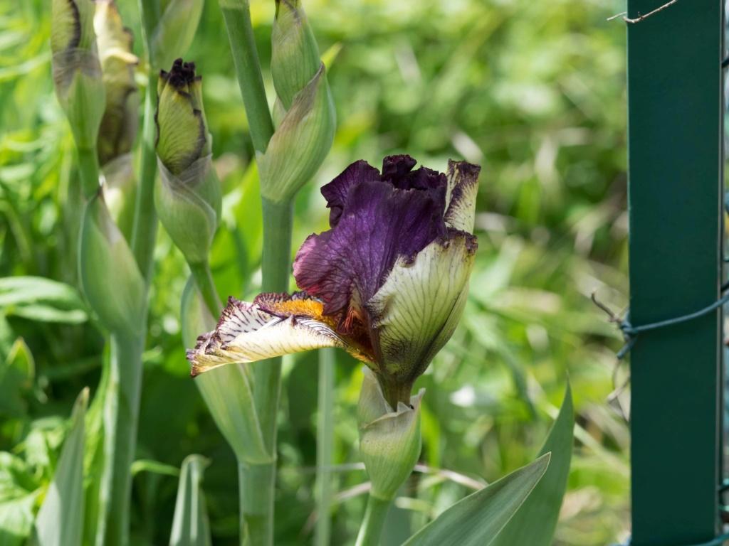 Iris 'Apollo One' - Sutton 1995 P5100215
