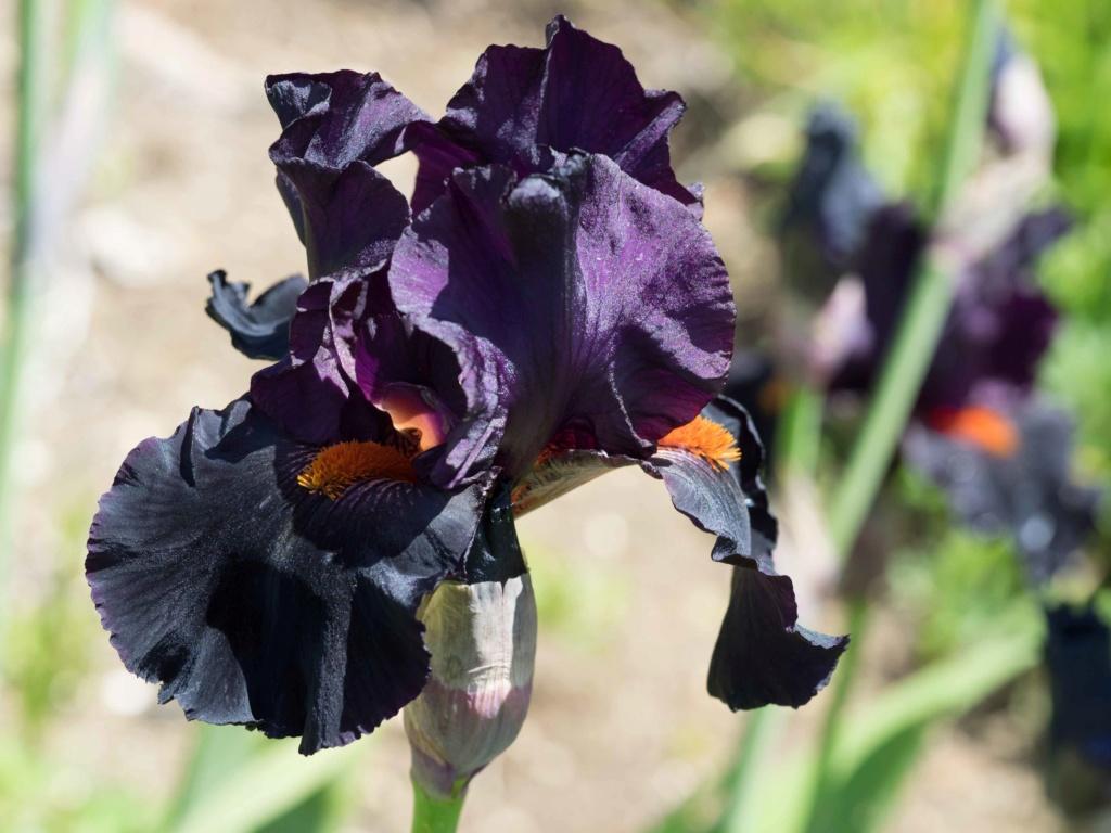 Iris 'Dracula Kiss' - Schreiner 2009 P5100217