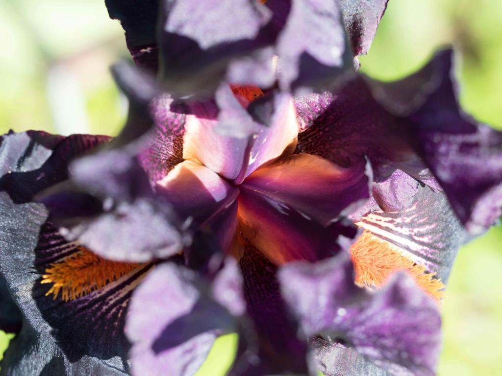 Iris 'Dracula Kiss' - Schreiner 2009 P5100218