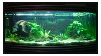 30L : Betta Splendens Plakat, Clithons, Planorbe. Rouge10