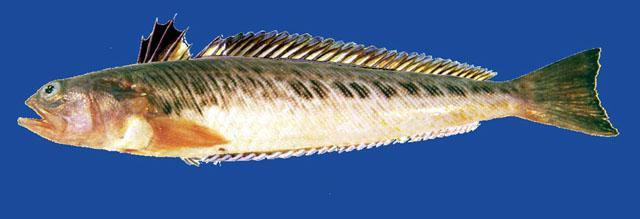 ARAÑA(trachinus draco) Araza10