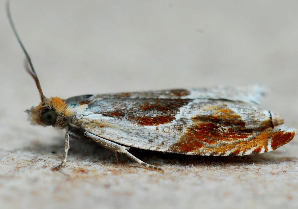 Trébédan 20 05 2020 [Ancylis unculana,Epinotia tetraquetrana] Ancyli12