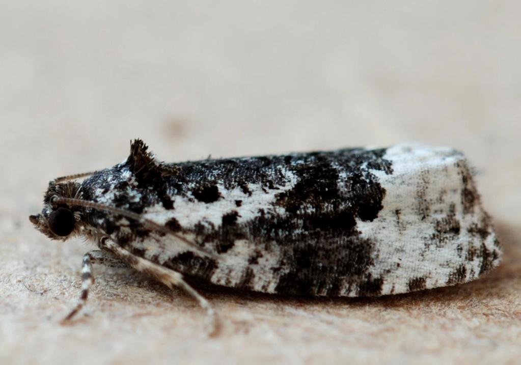 Taden 23 06 2020 [Celypha woodiana,Cochylis nana,Apotomis turbidana] Apotom10