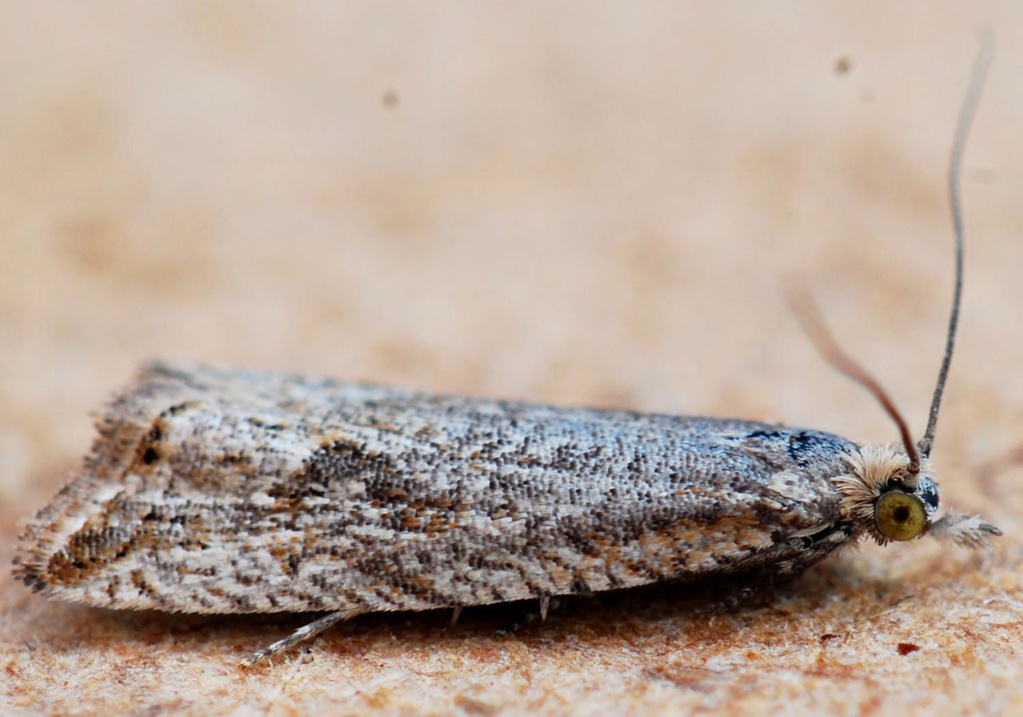 Trébédan 20 05 2020 [Ancylis unculana,Epinotia tetraquetrana] Bactra10