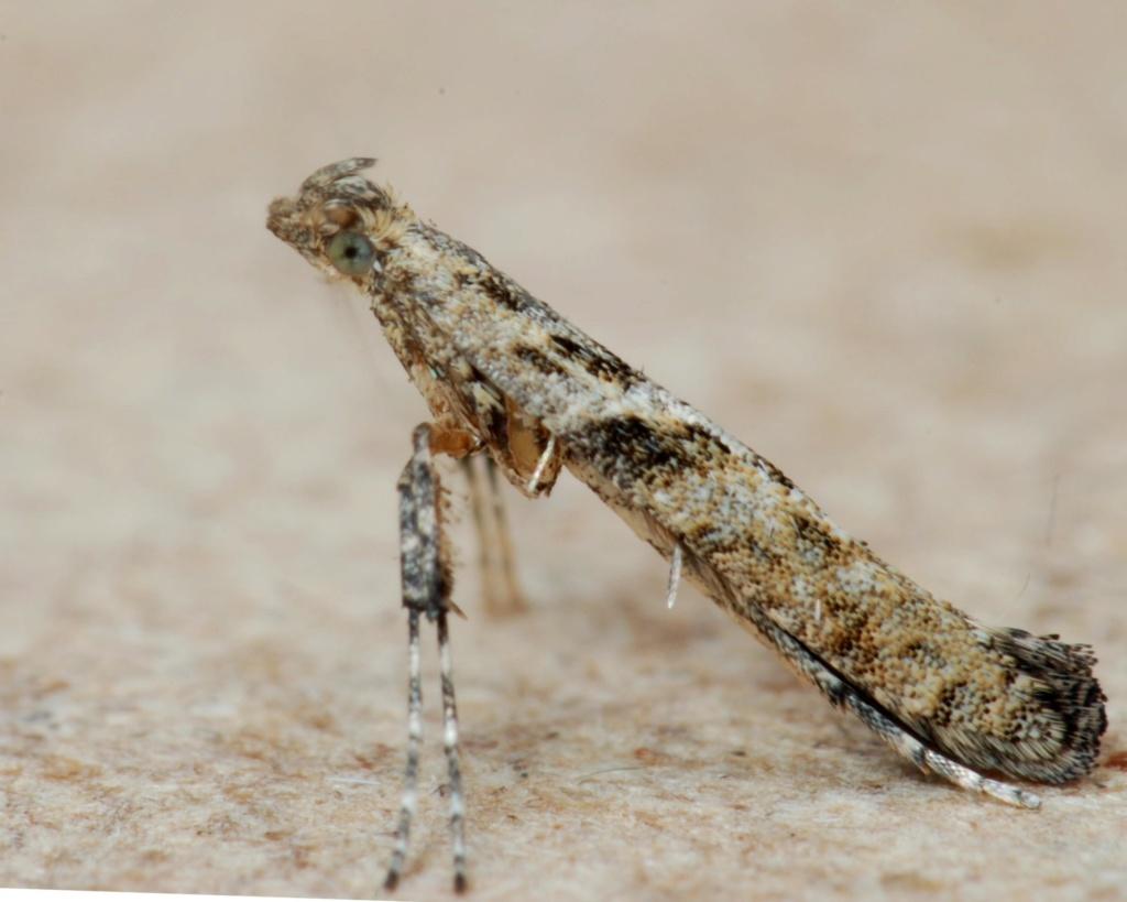 Caloptilia cuculipennella Caly11