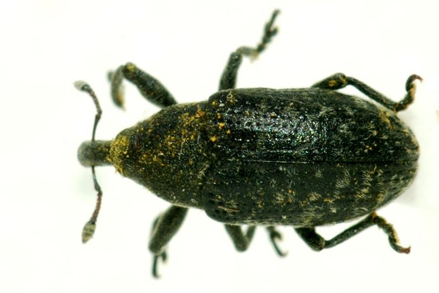 Larinus sp. [Larinus turbinatus-Larinus carlinae] Curcu_17