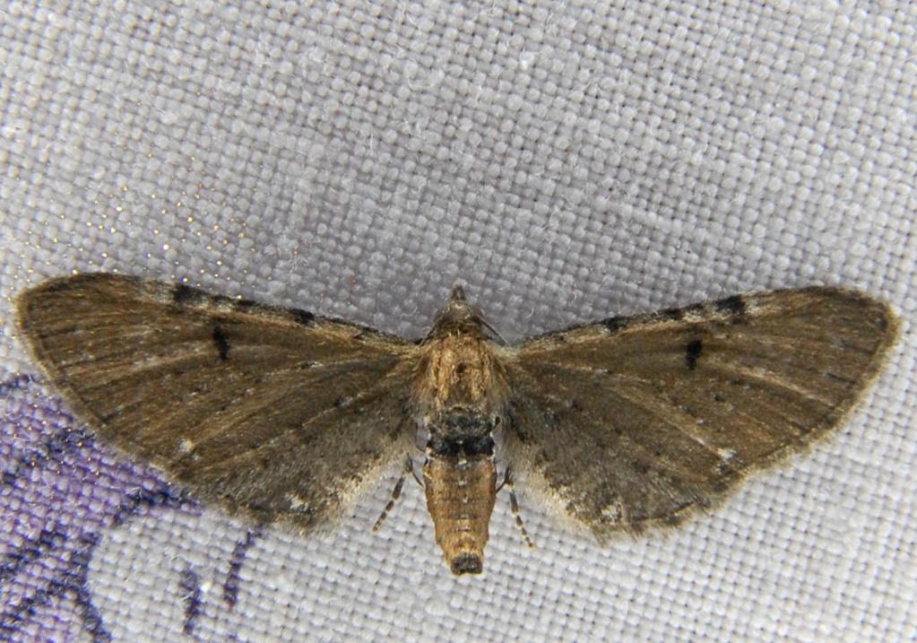 Eupithecia assimilata et tantillaria Eu_110
