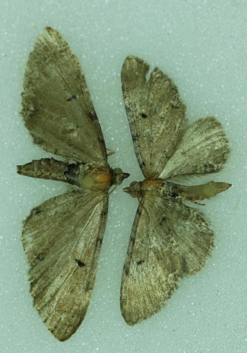 Eupithecia assimilata et tantillaria Eu_210