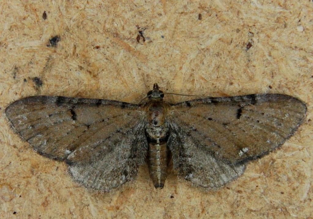 Eupithecia assimilata et tantillaria Eup10