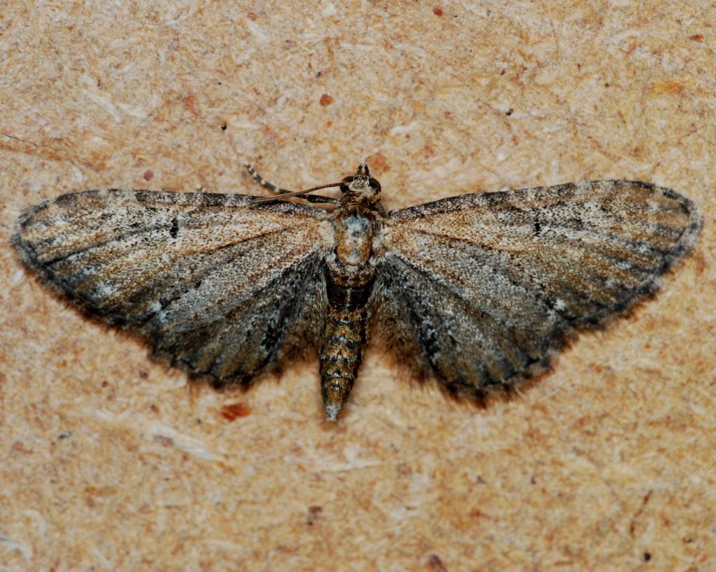 Eupithecia [Eupithecia vulgata] Eupith10