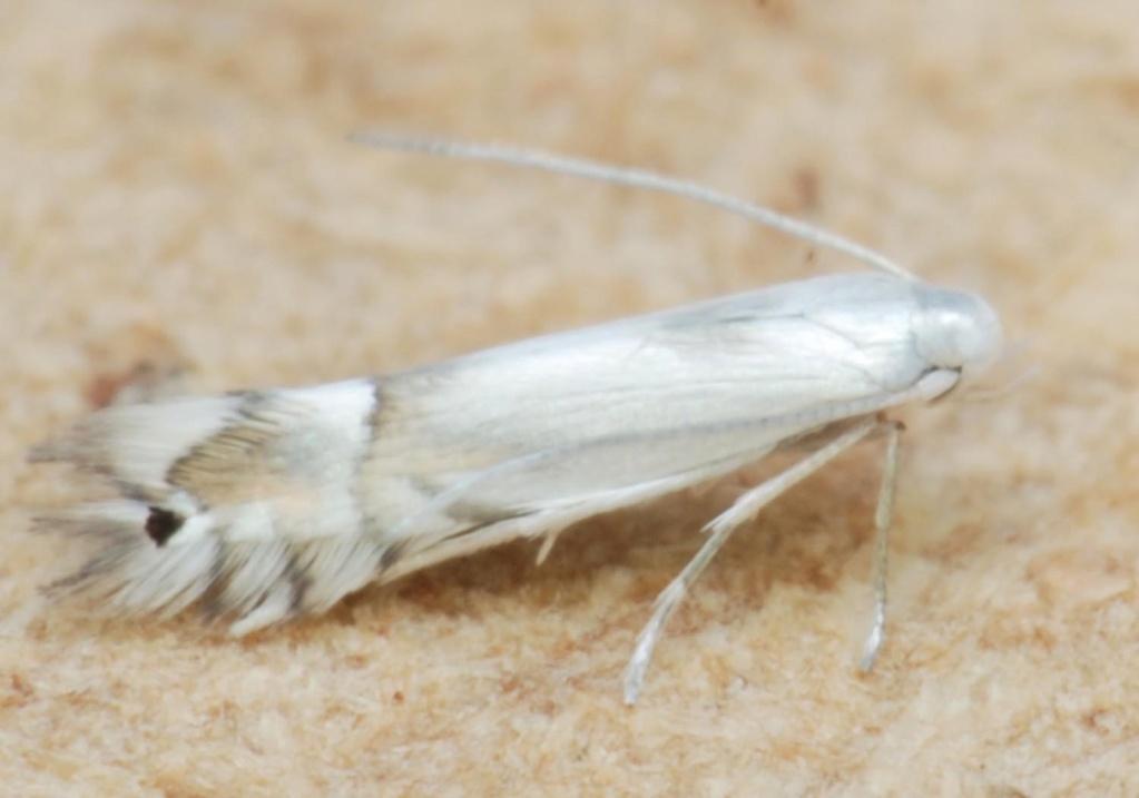 Phyllocnistis unipunctella [Phyllocnistis unipunctella] Ph12