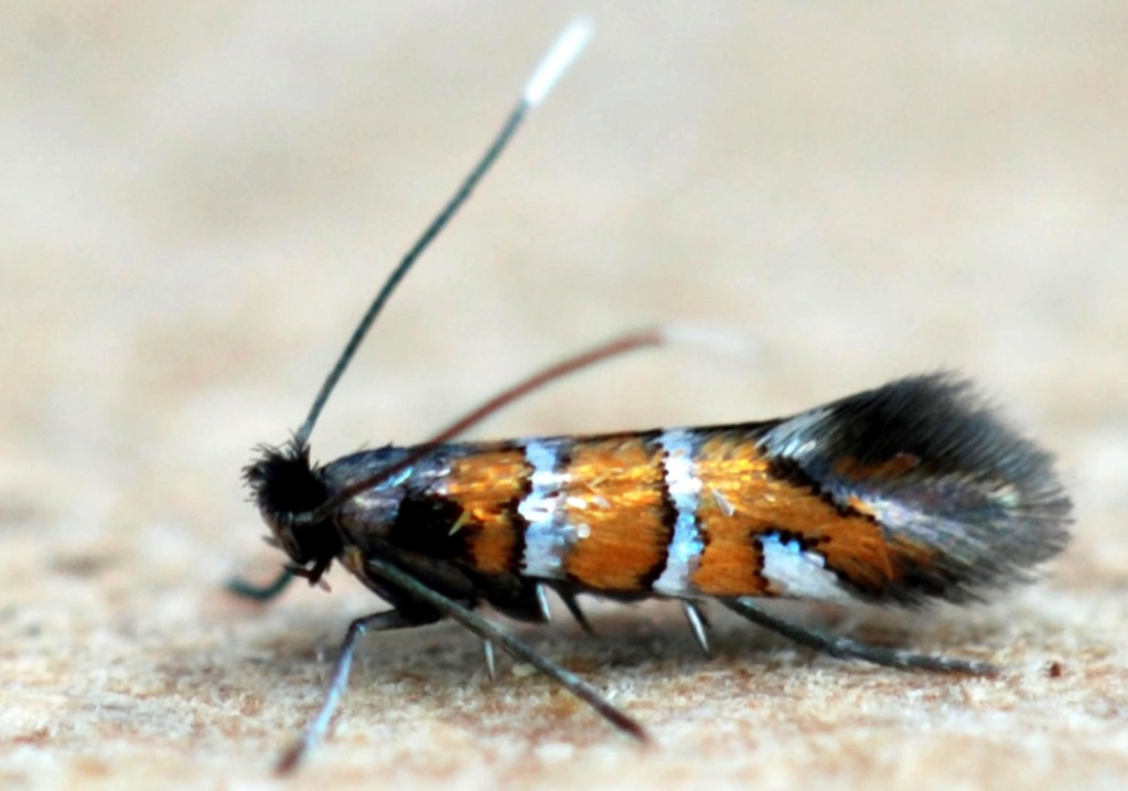 C'est une grande famille : Phyllonorycter Phyllo17