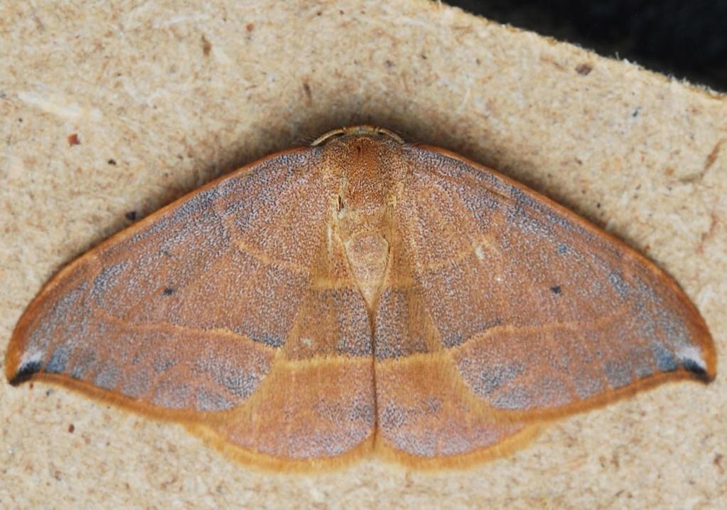 Identification lépidoptère : Watsonella binaria ? Pleur10