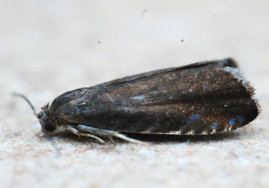 Tortricidae [Pammene germmana] To10