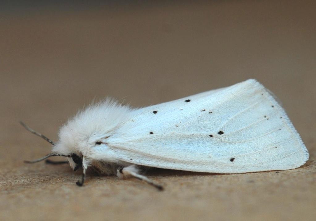 Taden 26 05 2020 [ Spilosoma urticae,Diaphora mendica] Urtica10