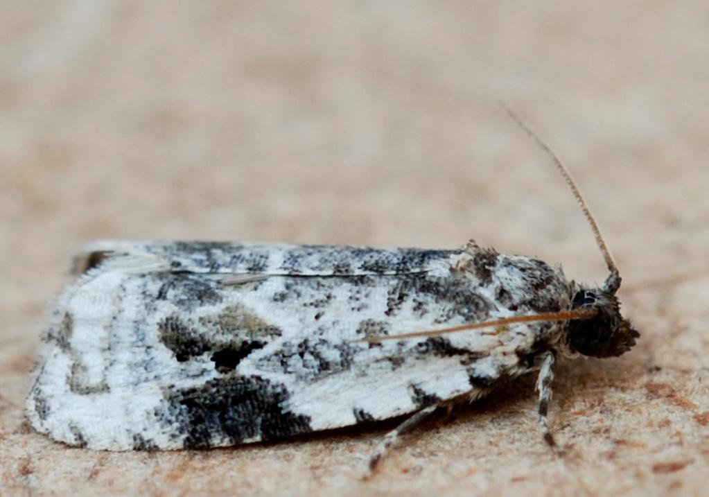 Taden 23 06 2020 [Celypha woodiana,Cochylis nana,Apotomis turbidana] Woodia10