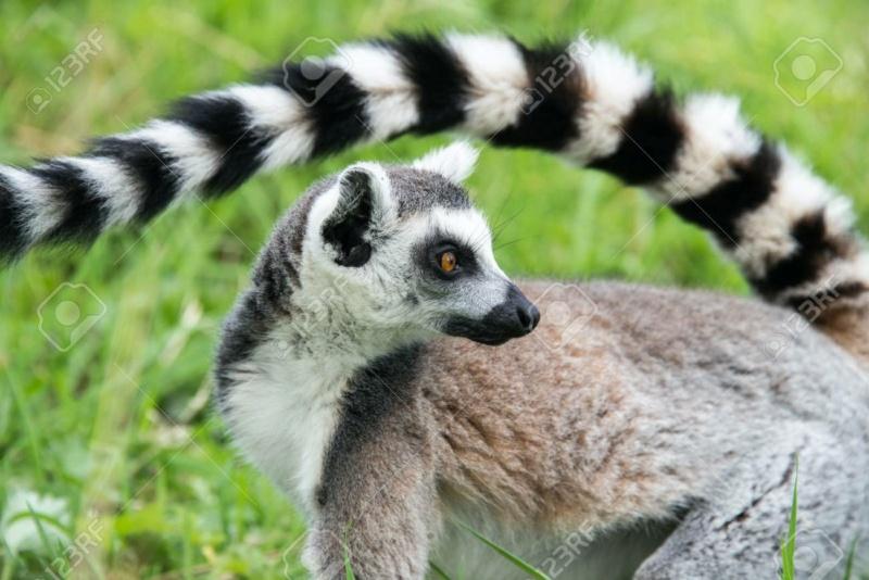 [Jeu] Association d'images - Page 7 Lemuri10