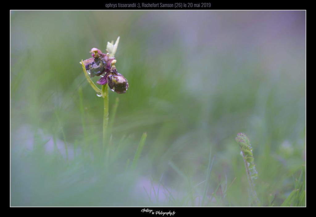 ophrys tisserandii Dsc08610