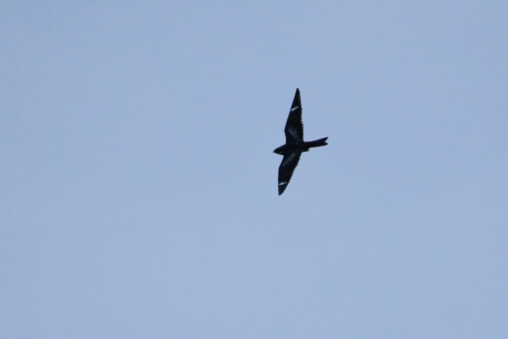 Oiseau à identifier _nik4710