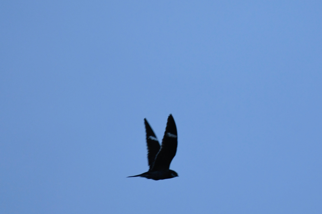 Oiseau à identifier _nik4711