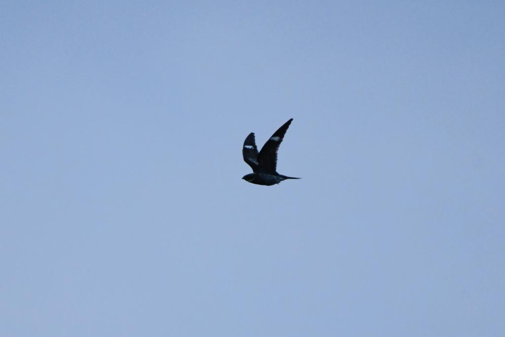 Oiseau à identifier _nik4810