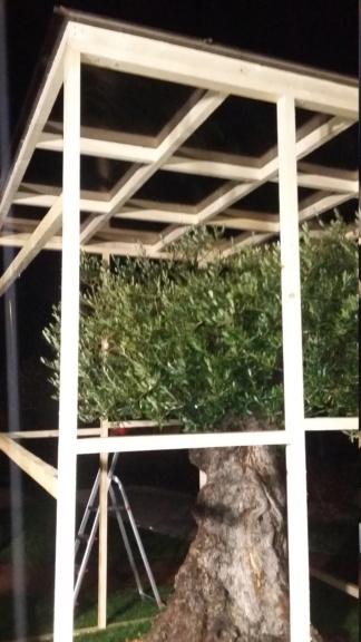 Olea europaea - olivovník evropský - Stránka 3 20181110