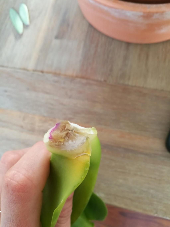 Hilfe, Phalaenopsis krank!  Photo-11