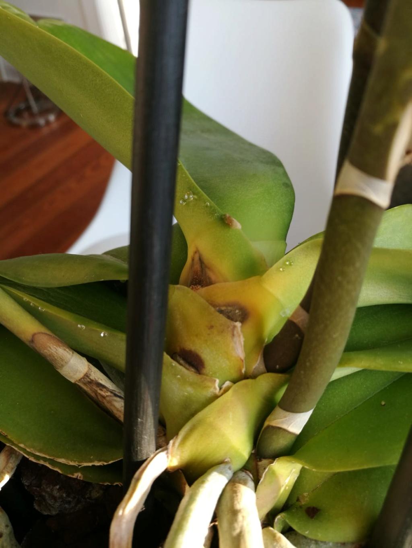 Hilfe, Phalaenopsis krank!  Photo-12