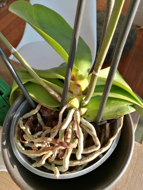 Hilfe, Phalaenopsis krank!  Photo-18