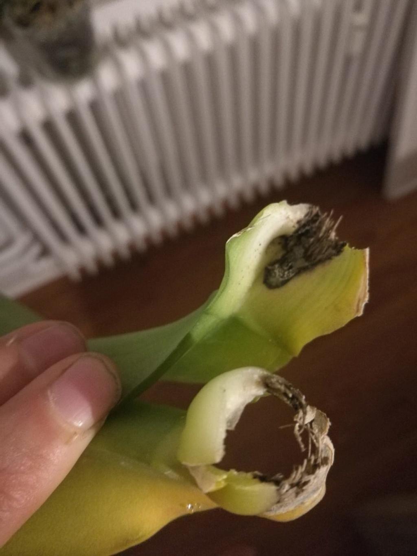 Hilfe, Phalaenopsis krank!  Photo-23