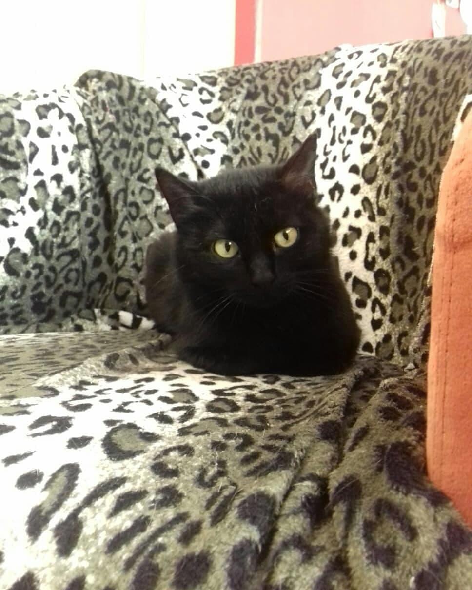 MIRABELLA jeune chatte noire née le 01/01/2017 64450210