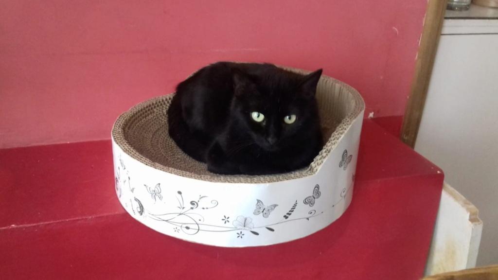 MIRABELLA jeune chatte noire née le 01/01/2017 64522511